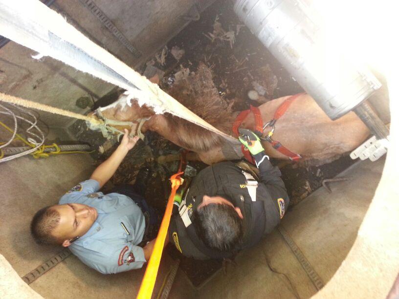 Rescatan a caballo que cayó a pozo en Arecibo