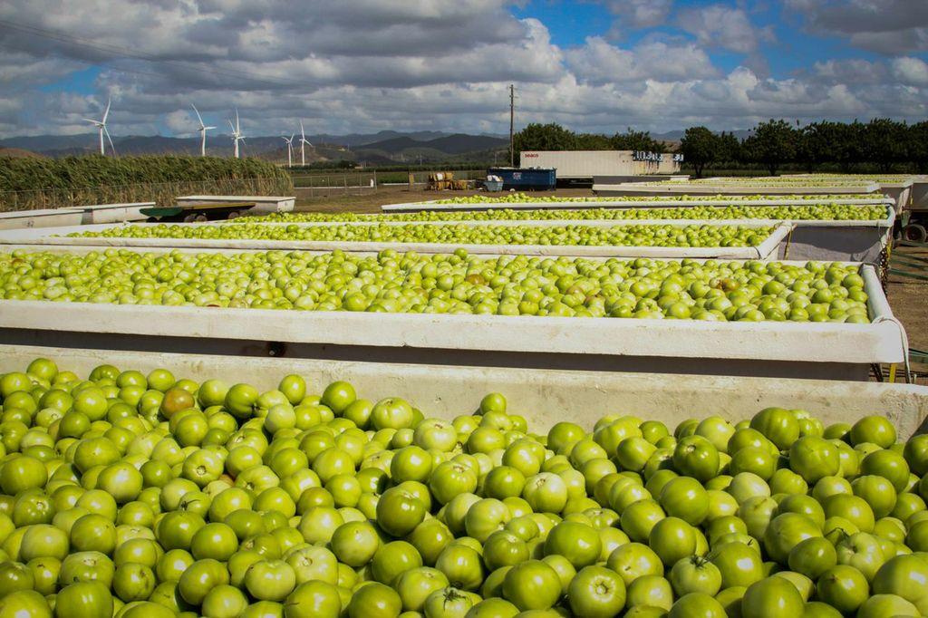 Apoyo a la cosecha de tomates cultivados en Santa Isabel